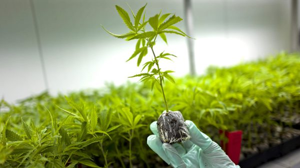 Legal replacement for marijuana