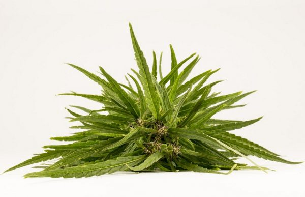 Hemp - the most popular narcotic plant