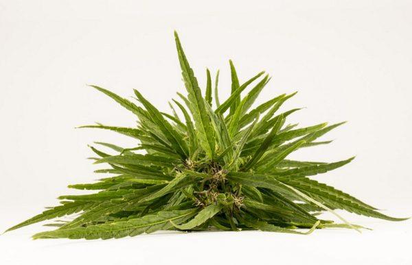 Конопля - самое популярное наркотическое растение