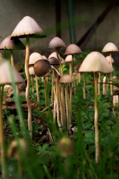 псилоцибиновый гриб фото