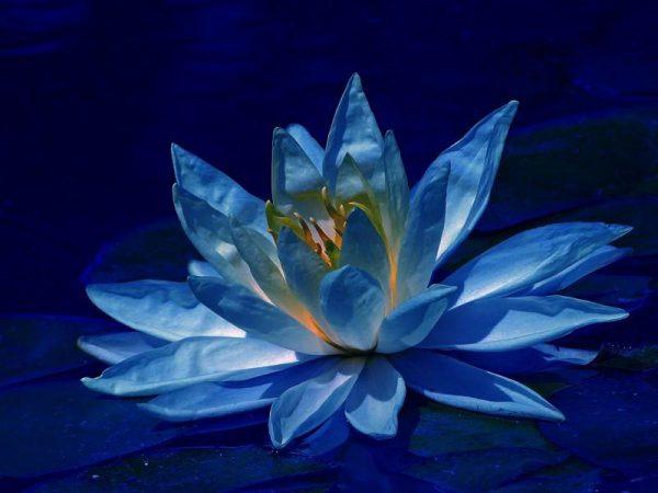 blue Lotus buy