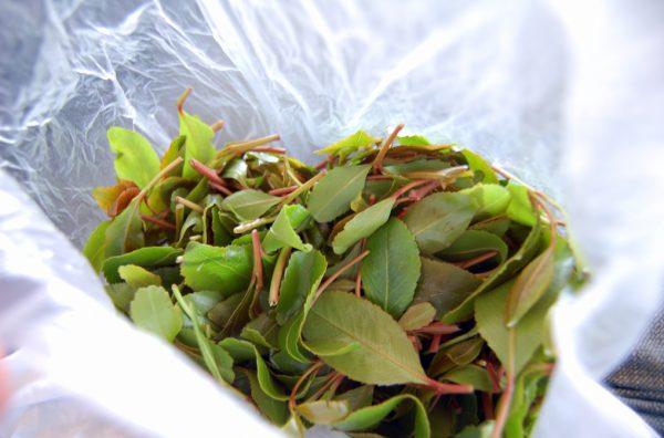 Кат – растительный наркотик