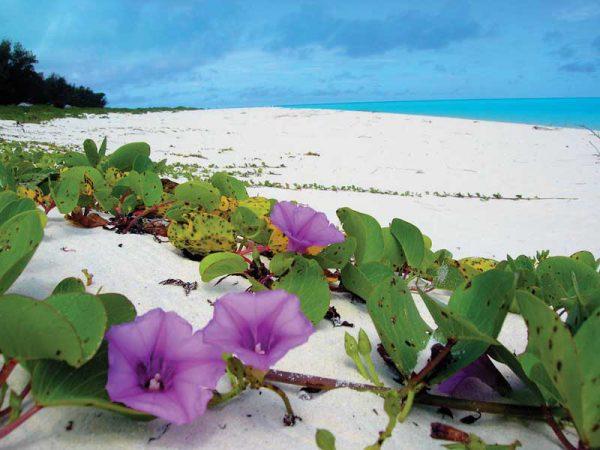 гавайская древовидная роза